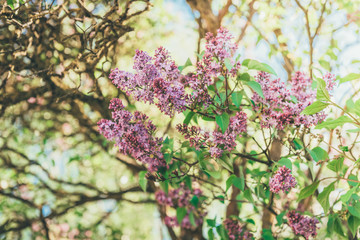 Branch of lilac flowers with the leaves, vintage retro hipster image with sunshine
