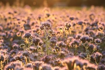 Lacy phacelia (Phacelia tanacetifolia) in the field at dawn