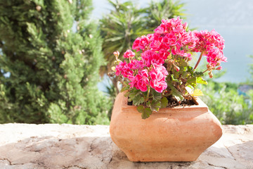 beautiful geranium flower in terracotta pot