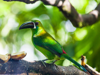 Toucan, with its green plumage