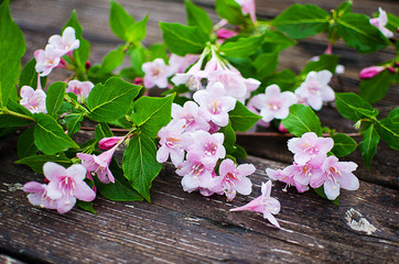 Pink flowers veigela on a branch with leaves growing