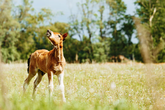 little foal sniff air on the field. Sunny day