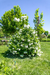 Bush with white flowers in the park in spring - Buldenezh flowers