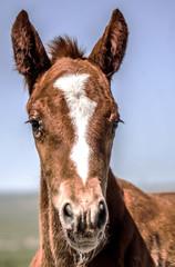 Foal horse head