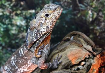 Frilled-necked lizard or Frilled dragon (Chlamydosaurus kingii)