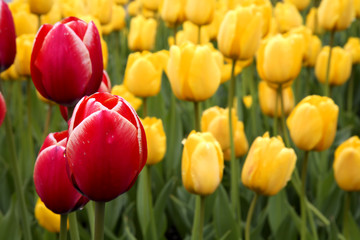 Spring tulips with color