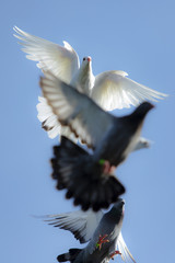 white feather pigeon in flying flock against clear blue sky