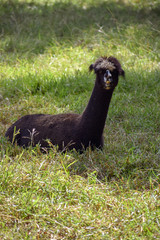A black adult lama resting in the shade on thick green grass
