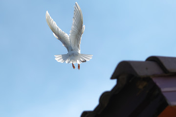 white feather homing pigeon bird approaching for landing to home roof