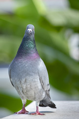 full body of speed racing pigeon bird standing on home roof  looking straight  to camera