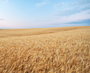 Wall Mural - Meadow of golden wheat