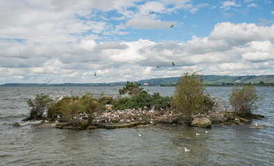 The seagull bird nest in lake Rotorua the second largest lake in New Zealand.