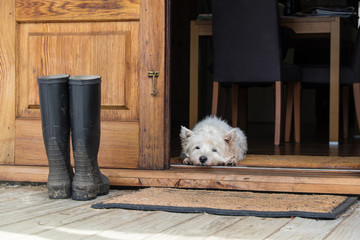 Senior west highland white terrier westie dog lying on mat looking out of open farmhouse door