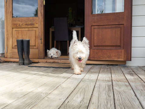 Scruffy westie dog walking out of open farmhouse door onto deck - another west highland terrier is lying in the background