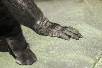 Paws of a black gorilla in nature