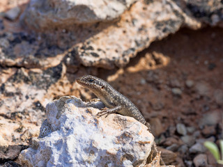 Desert Lizard in Kalahari, South Africa
