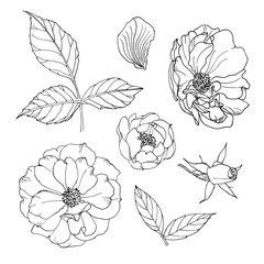 illustrations of contour beautiful roses. flower set