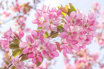 Blooming pink apple tree