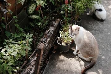 Siam Cat sitting on the cement floor in garden.