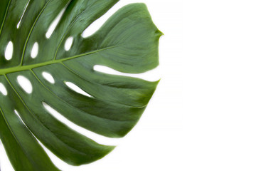 tropical palm tree green leaf isolated