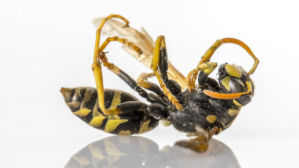 Closeup of a dead wasp over a white background