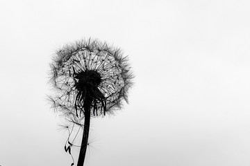dandelion on a white background, black and white photo