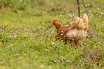 hen chicken free range   in a meadow spring time