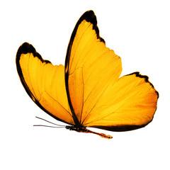 Хрупкая бабочка с нежными жёлтыми крыльями, изолирована на белом фоне