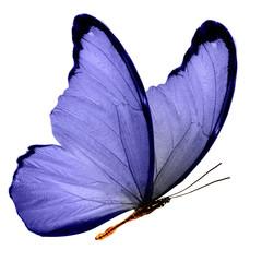 Бабочка с синими крыльями изолирована не белом фоне