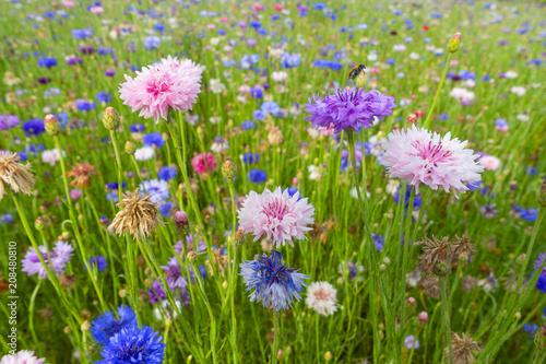 fiordalisi colorati prato di fiori selvatici di stagione sfondo ...