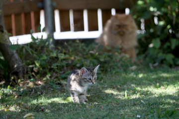 Young European Shorthair cat meets the Persian cat of the neighbors