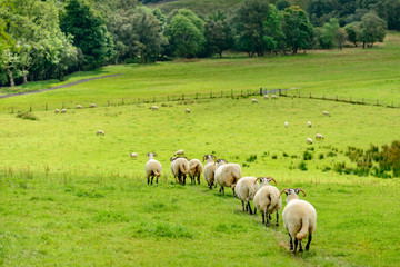 A flock of sheep walking in single file with a field in Scotland.