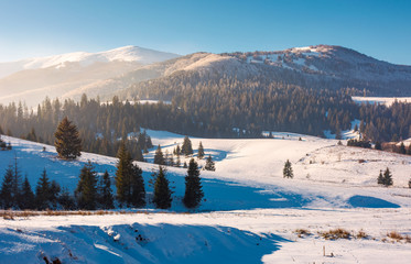 Borzhava mountain ridge in winter. spruce forest on snowy hillside in haze. lovely landscape of Carpathian mountain located in Pylypets village of Ukraine, popular tourist destination
