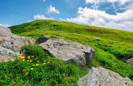 boulder around dandelions on grassy hillside. beautiful summer scenery of Carpathian mountains under the blue sky with clouds