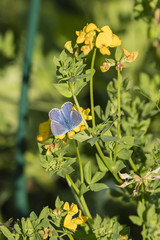 Blue butterfly on a yellow flower.
