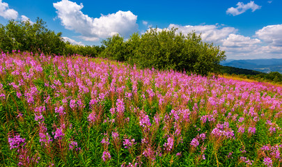 fire weed meadow in mountains. beautiful purple flowers on hillside. wonderful summer weather with blue sky and some fluffy clouds