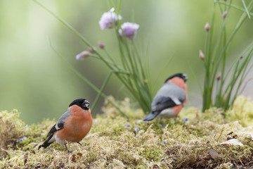 two male bullfinch standing with chive