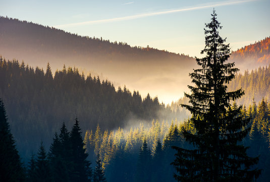 spruce forest in fog at sunrise. beautiful autumn scenery of Apuseni Mountains of Romania