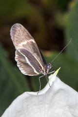 Tropical butterfly resting on a peace plant showing it's rolled up tongue