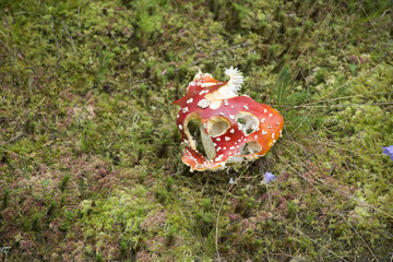 Red mushroom on ground in forest at Germany