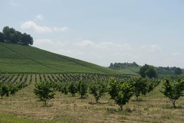 Field of young hazelnuts near Alba, Piedmont - Italy