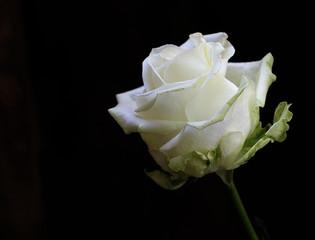 Single white rose on dark, black background
