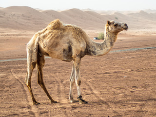 Closeup of a curious wild camels in the Wahiba Sands desert in Oman