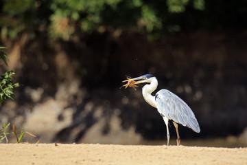 Anhinga (aka Snakebird, American Darter) on Sand Bank, with a Freshly Caught Catfish.  Pantanal, Brazil