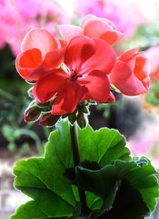 red and pink flowers of geranium macro