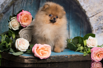 spitz Pomeranian and flowers roses