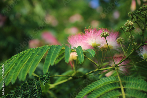 Image Of Cute Fluffy Blooming Pink Flower Albizia Julibrissin