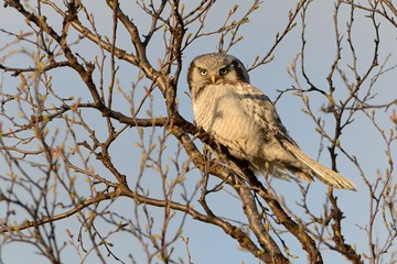 Northern Hawk Owl - Surnia ulula sitting on the tree next to the road in Varanger, Norway