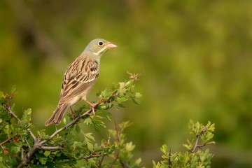 Ortolan Bunting (Emberiza hortulana) perched on a hawthorn branch