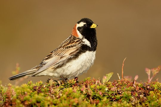 Lapland Bunting - Calcarius lapponicus in the Norwegian tundra